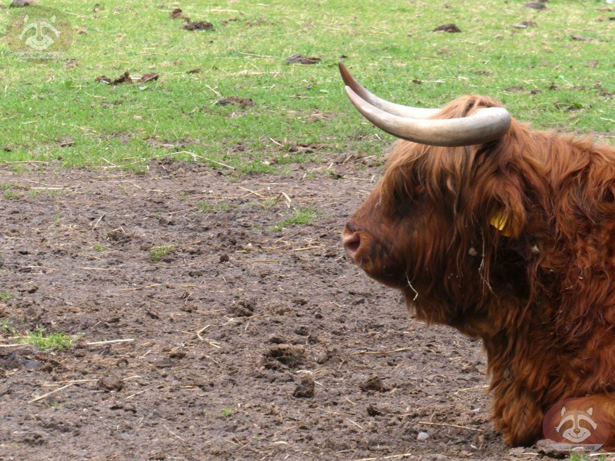Highland Rind  (2)