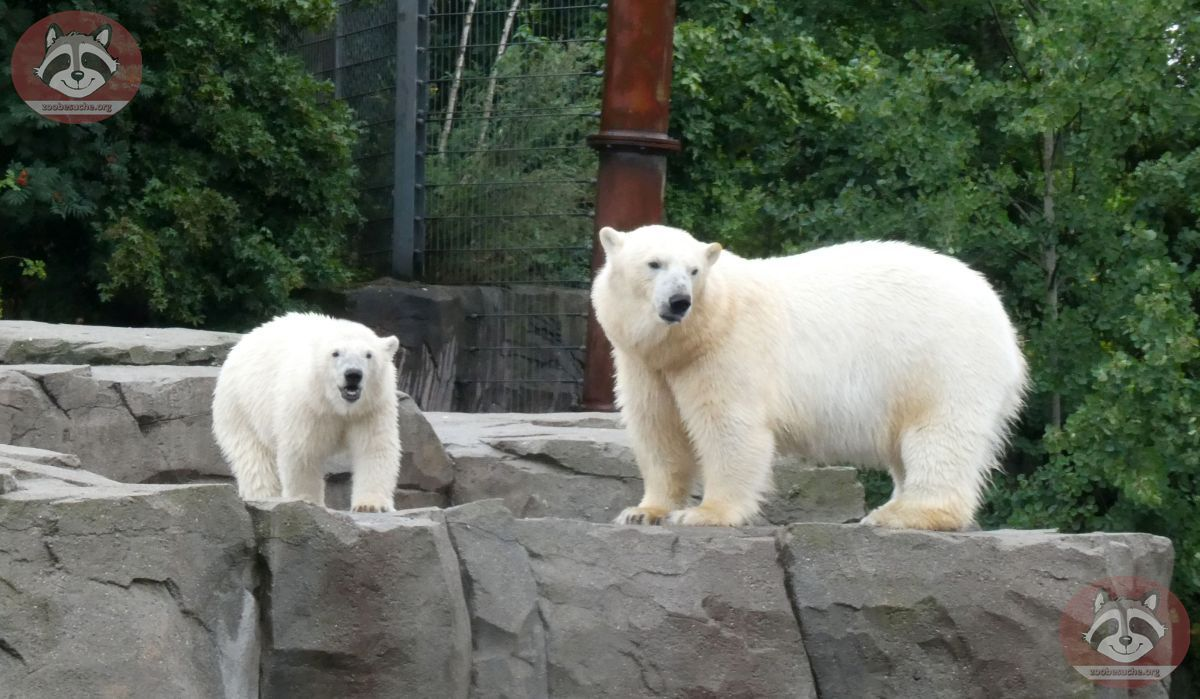 Eisbären_Milana_udn_Nana_(1)