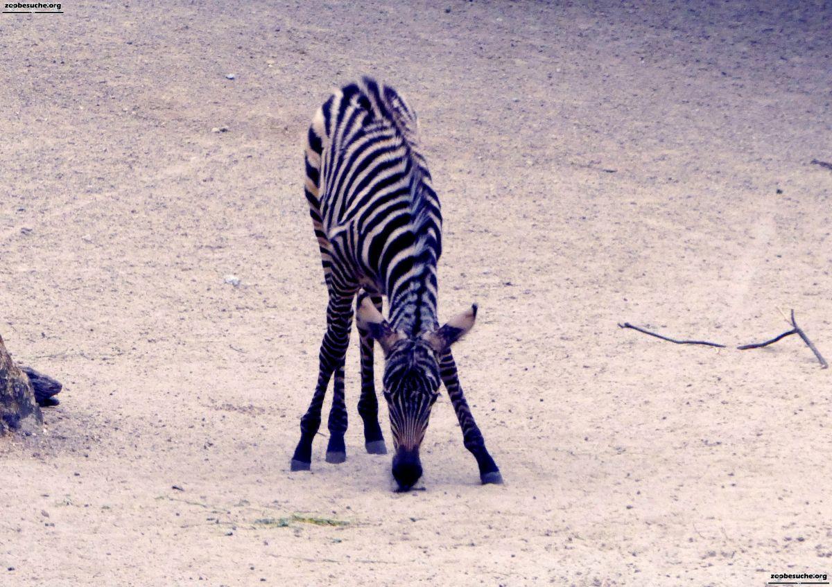 Zebra  (3)