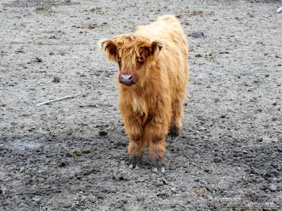 Highland Rinder  (6)