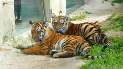 Tigerjungtiere  (11)