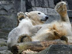 Eisbär  (42)