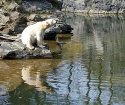 Eisbär  (94)