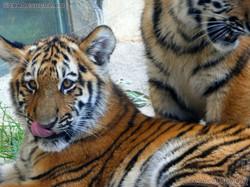 Tigerjungtiere  (13)