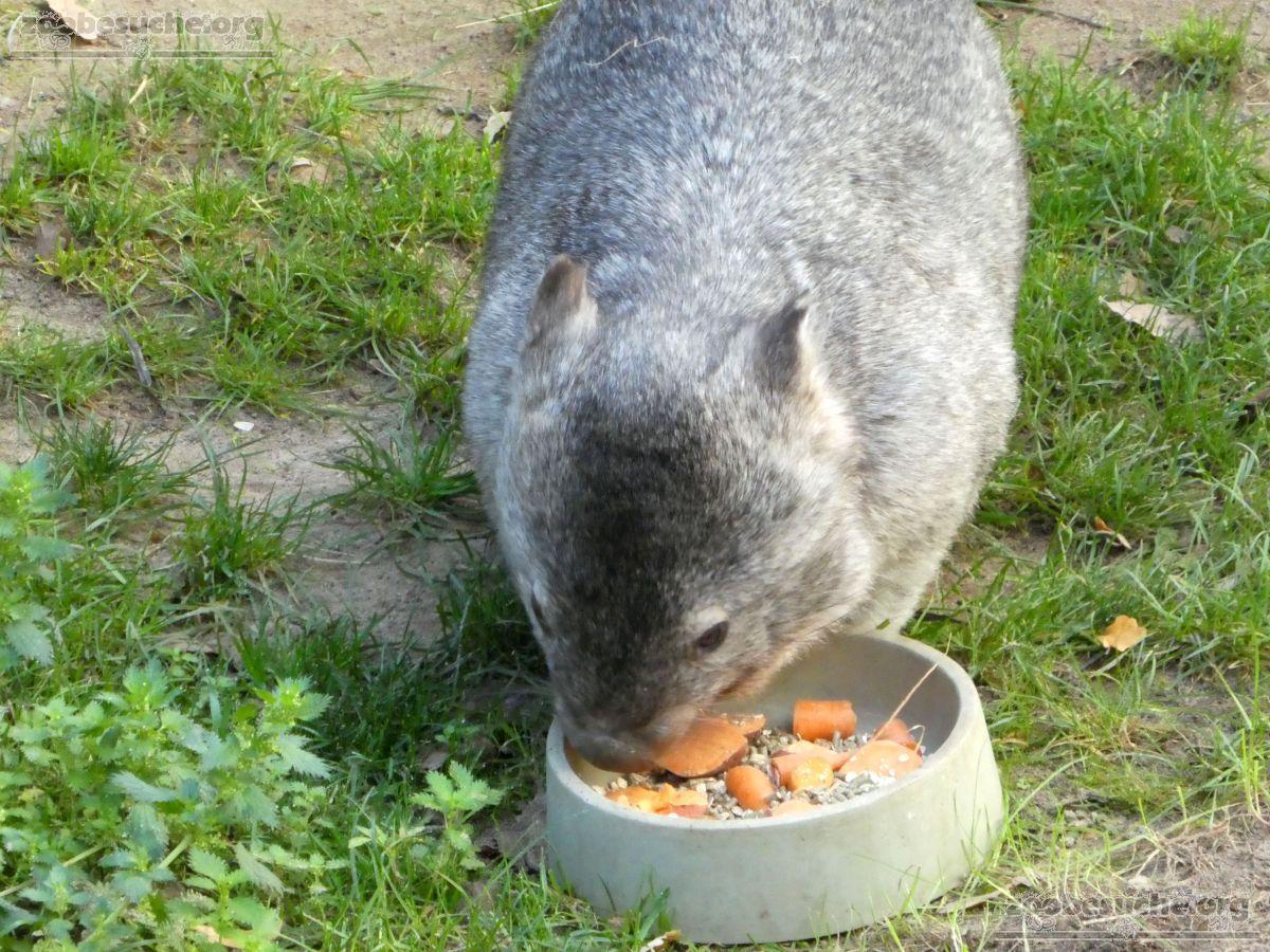 Nacktnasenwombat  (11)