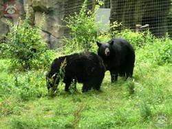 Schwarzbär (2)