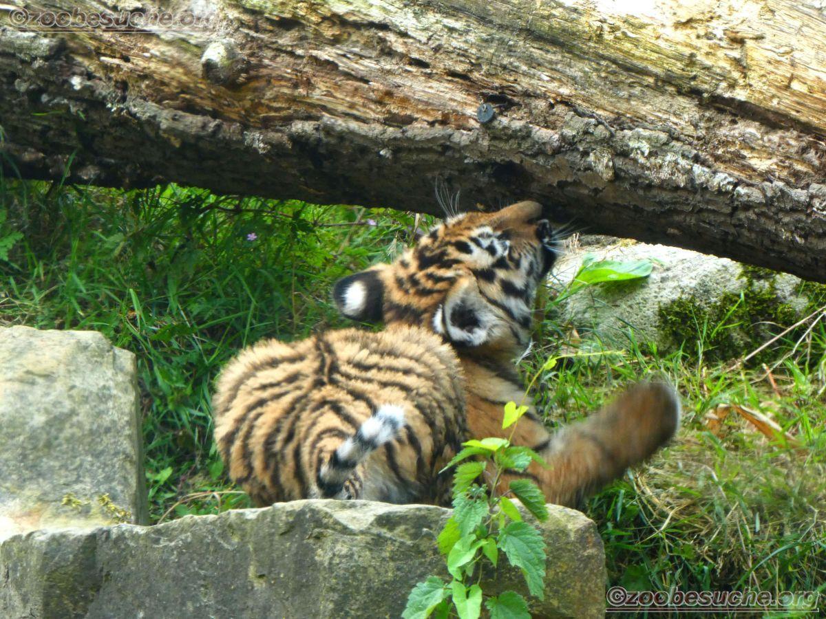 Tiger Jungtiere  (39)