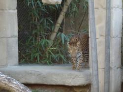 Leopard  (9)