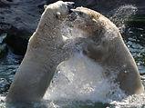 Eisbären  (19).jpg
