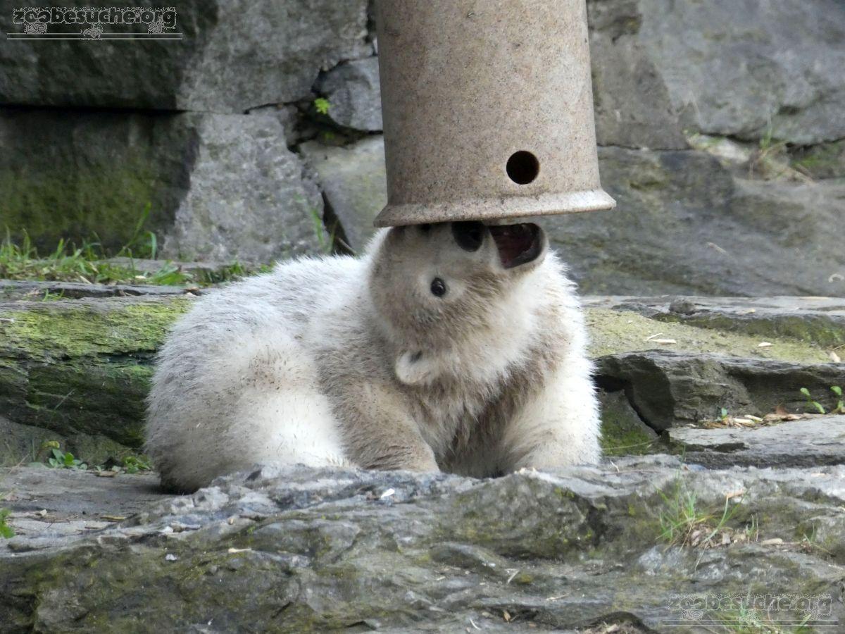 Eisbär  (27)