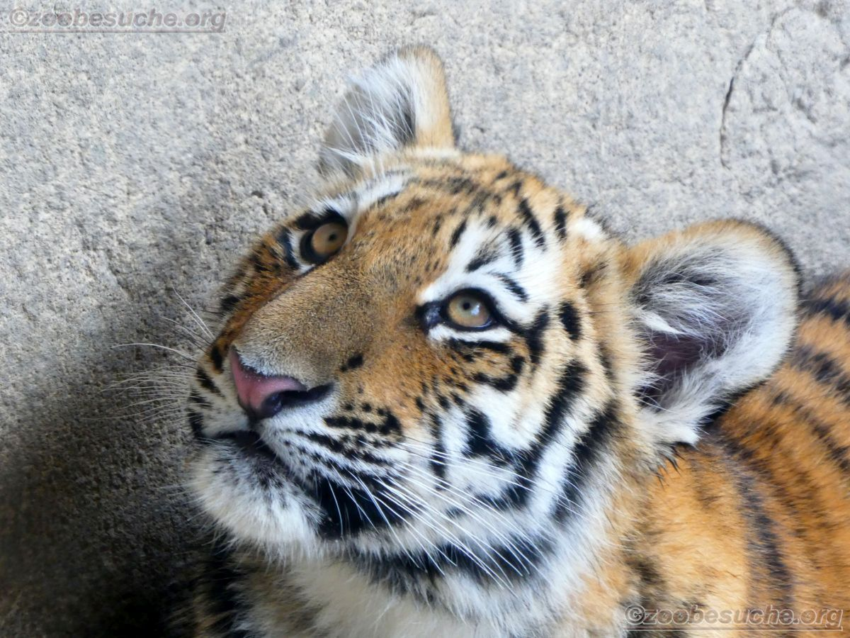 Tigerjungtiere  (22)