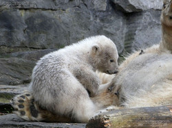 Eisbär  (46)