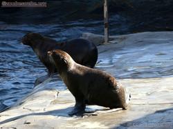 Seebär Jungtiere  (3)