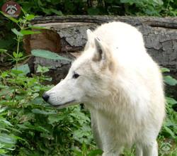 Hudson Bay Wolf (4)