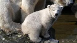 Eisbär  (106)
