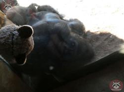 Gorilla Buzandi mit Wuschel (1)