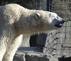 Eisbär 02
