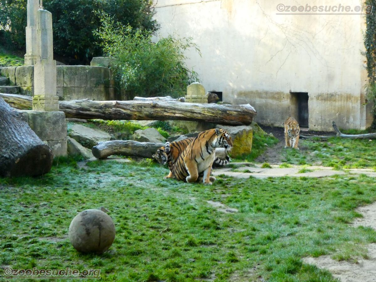 Tigerin Alexa mit Jungtier (5)