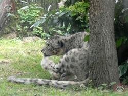 Schneeleopard  (1)
