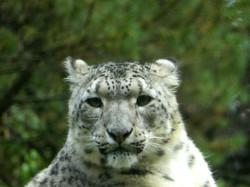 Schneeleopard  (6)