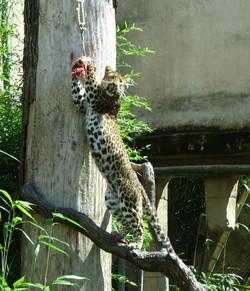 Leopard Julius  (27)