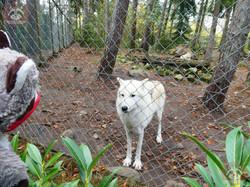 Polarwolf mit Wuschel