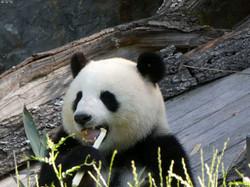 Panda  (304)