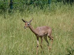 Südliche Giraffengazelle
