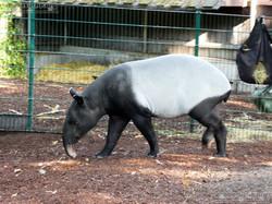Tapir  (3)