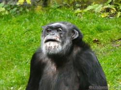 Schimpansen  (22)