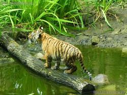 Tiger Jungtiere  (56)