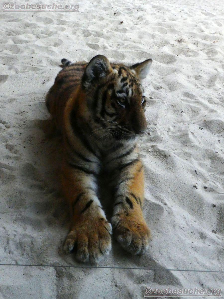 Tiger Jungtier Jaro  (11)