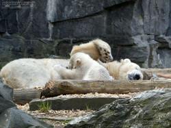 Eisbär  (66)