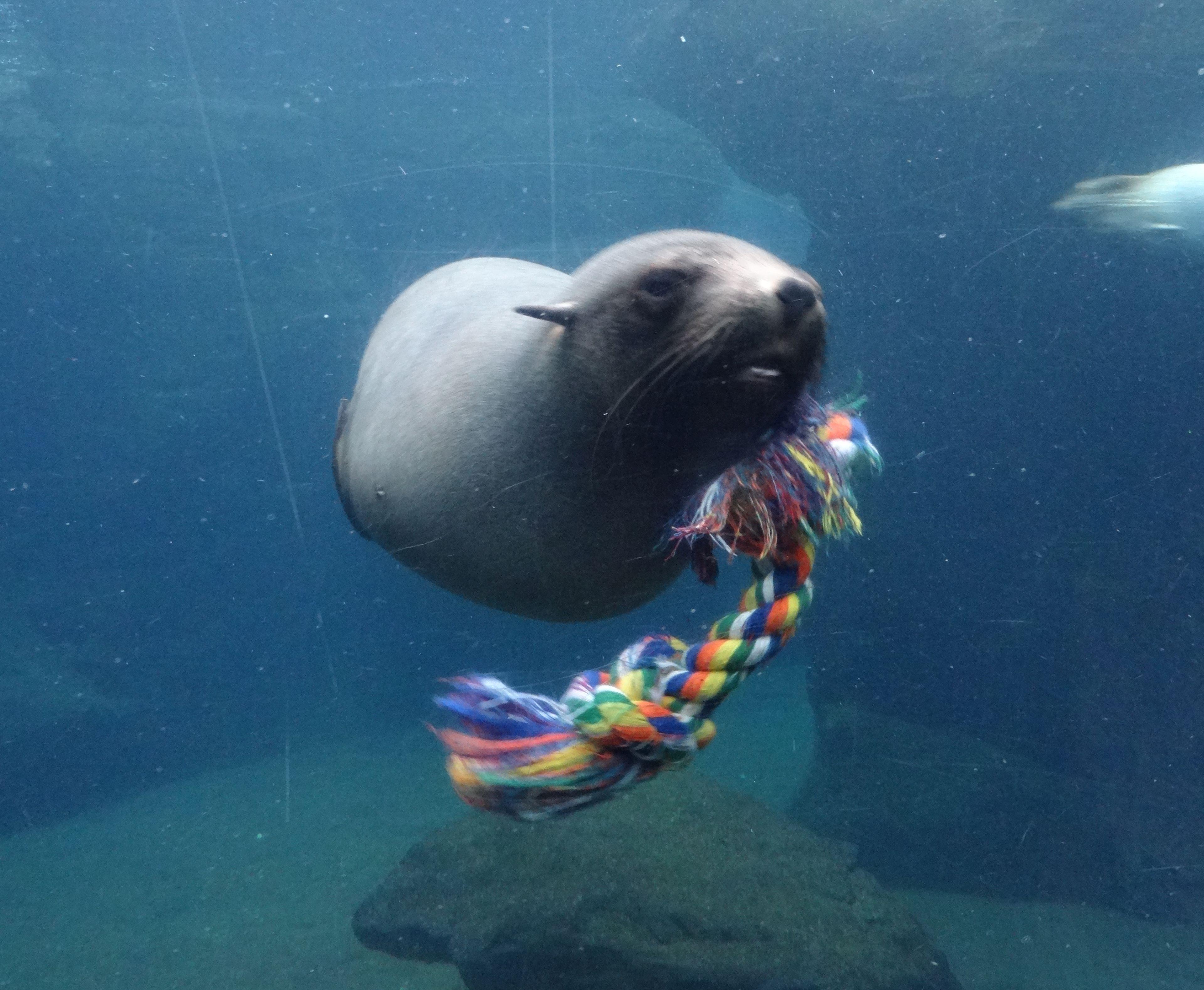Südafrikanischer Seebär  (1)