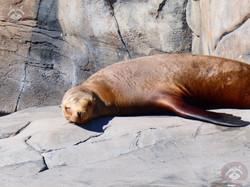 Californischer Seelöwe