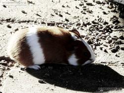 Meerschweinchen  (1)