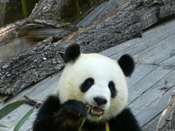 Panda  (204)