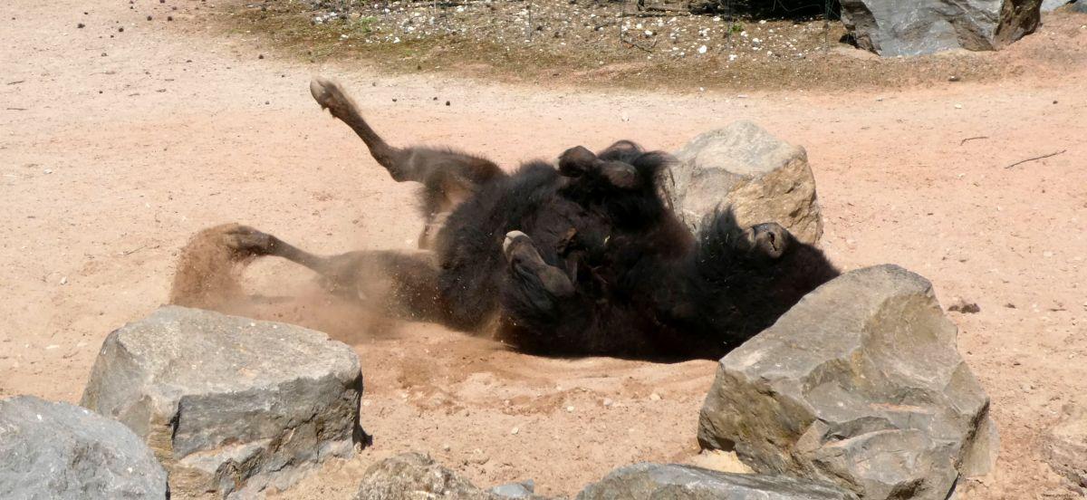 Bison  (3)