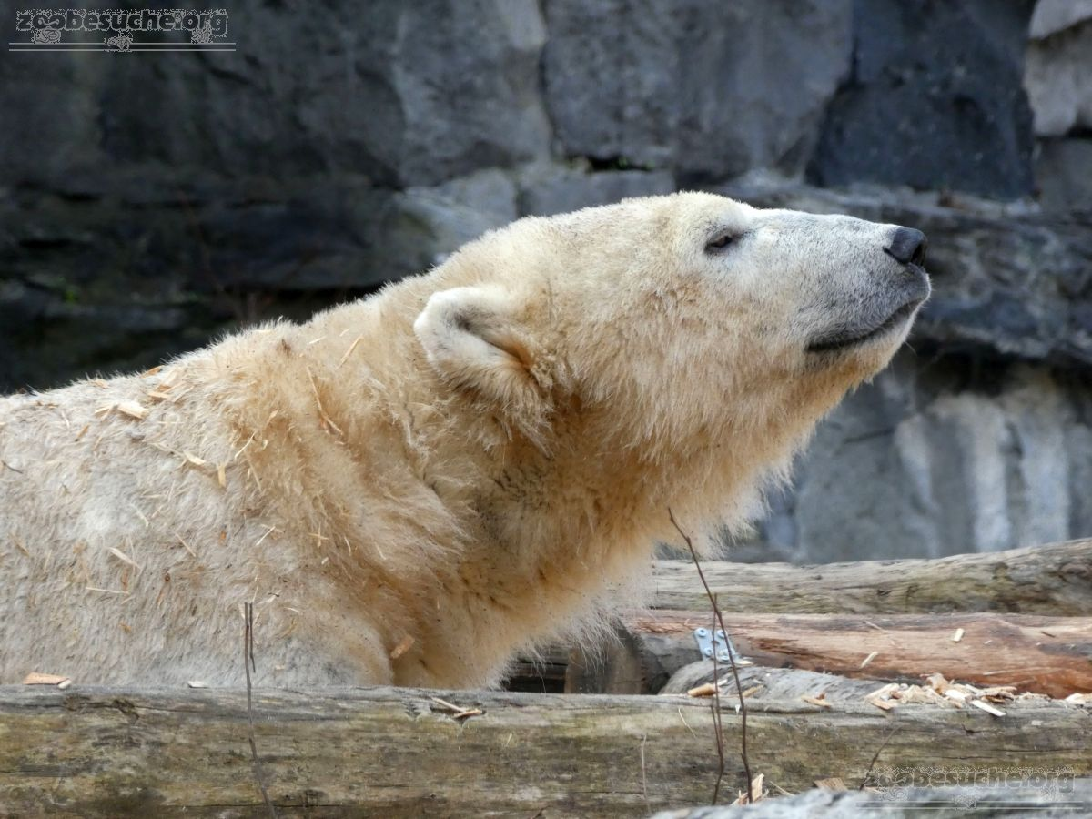 Eisbär  (62)