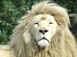 Weißer Löwe