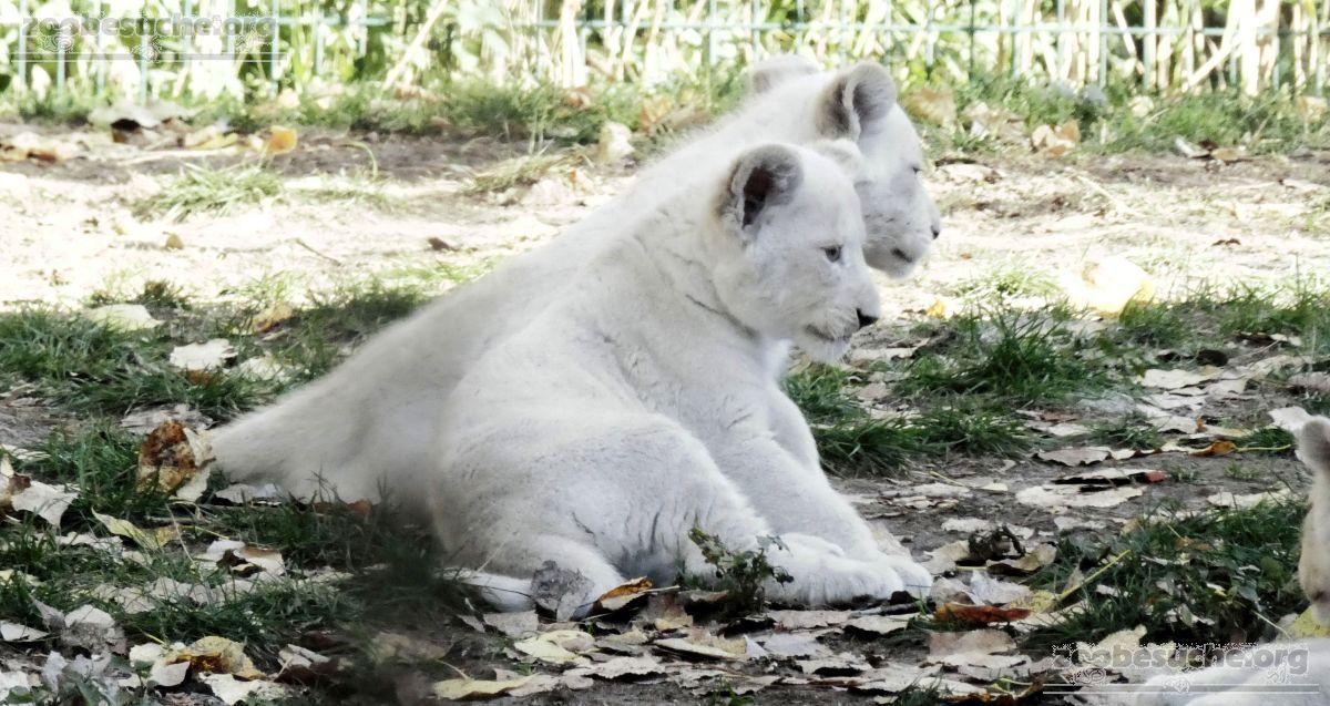 Löwen  (32)