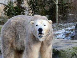 Eisbär (3)