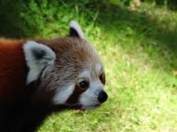 Roter Panda 2