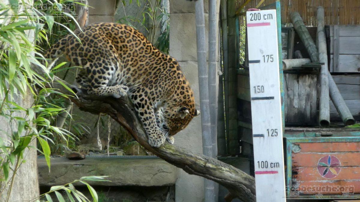 Leopard Julius  (15)