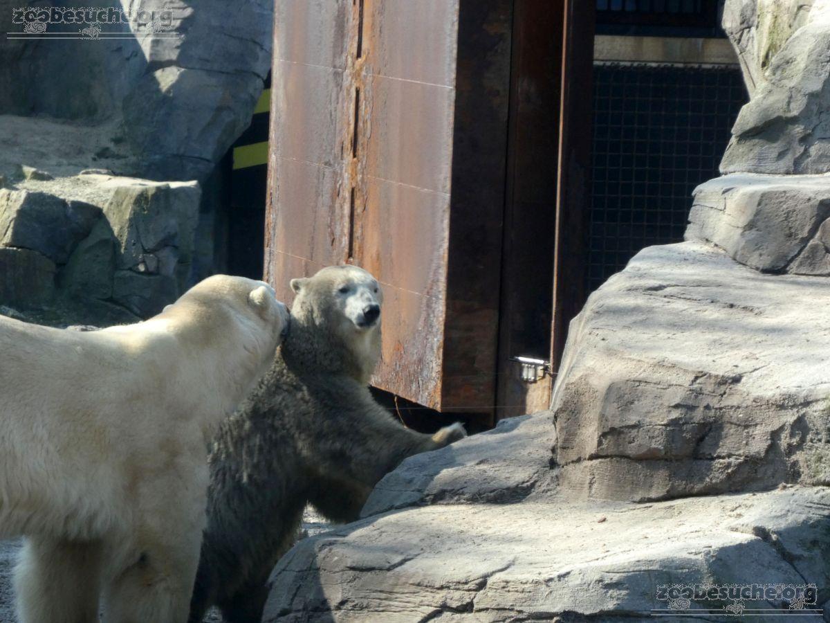 Eisbären_Milana_und_Sprinter__(6)