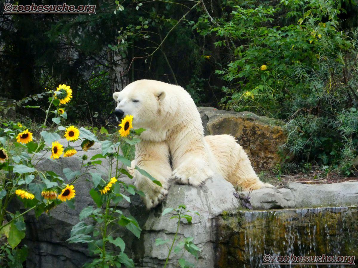 Eisbär Sprinter  (10)