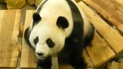 Panda  (10)