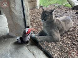 Puma mit Wuschel 1