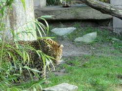 Leopard Julius  (37)