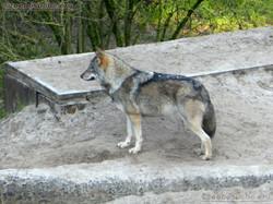 Wölfe  (3)